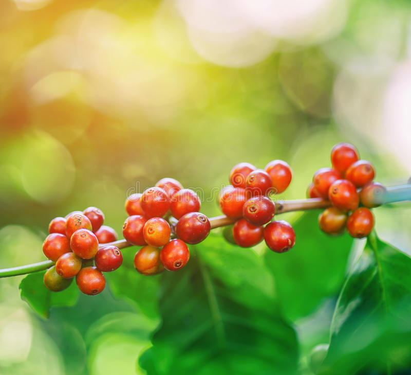 Frische Kaffeebohnen auf Baum mit Aufflackern beleuchten lizenzfreies stockbild