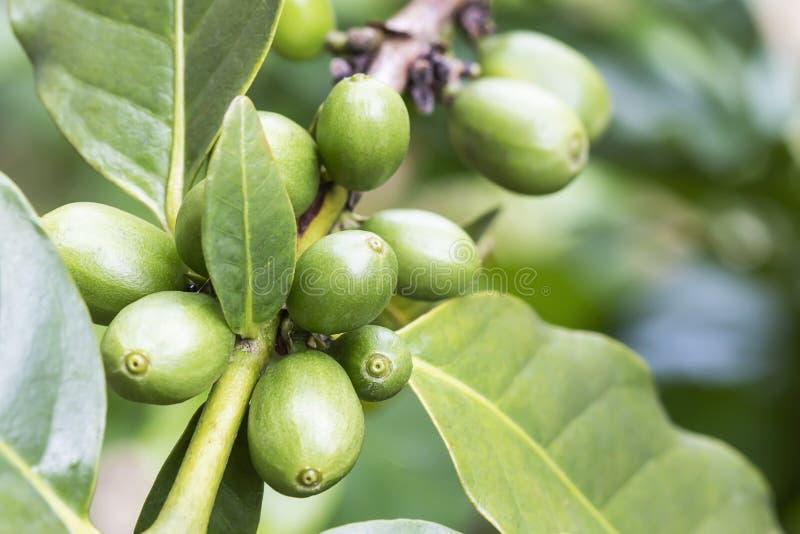 Frische Kaffeebohnen auf dem Baum lizenzfreies stockbild