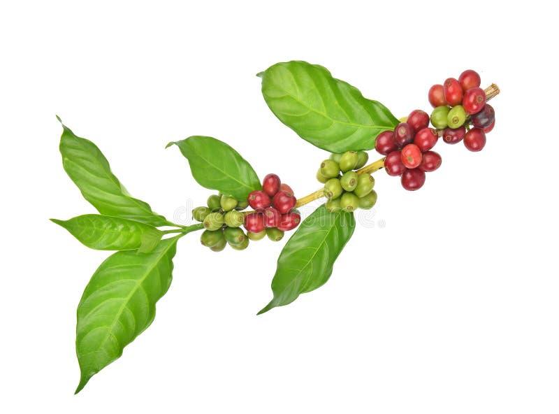 Frische Kaffeebohnen lokalisiert auf weißem Hintergrund stockbilder