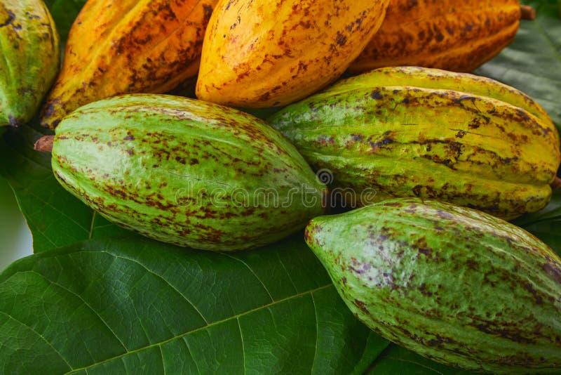 Frische Kakaofrüchte stockfotos