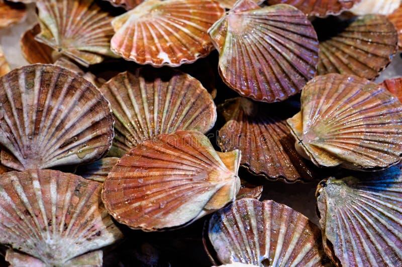 Frische Kamm-Muscheln stockfoto