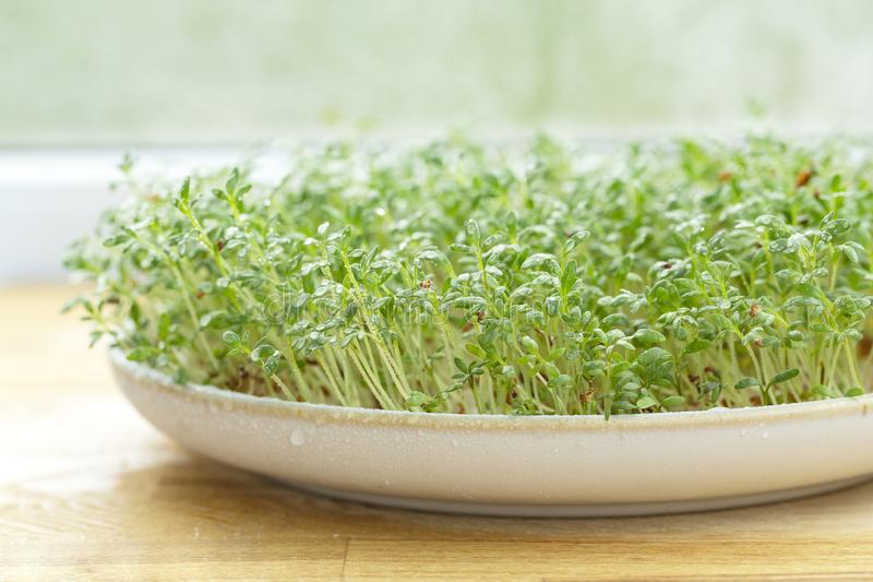 Frische Kresse auf Holztisch Wachsende Mikrogr?ns Keimungscress salad seeds Selektiver Fokus stockfoto