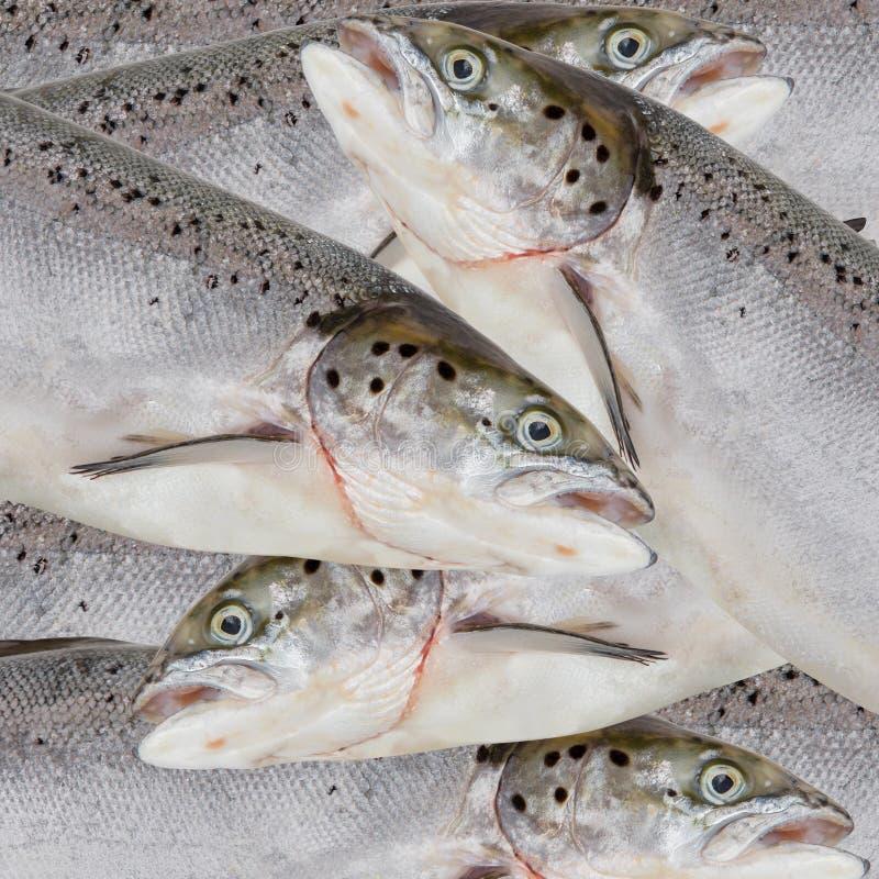 Download Frische Lachse stockfoto. Bild von flossen, nahrung, abschluß - 27731956