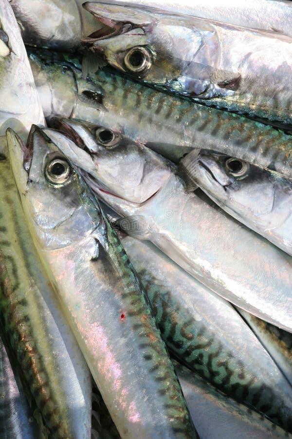Frische Makrele stockfotos