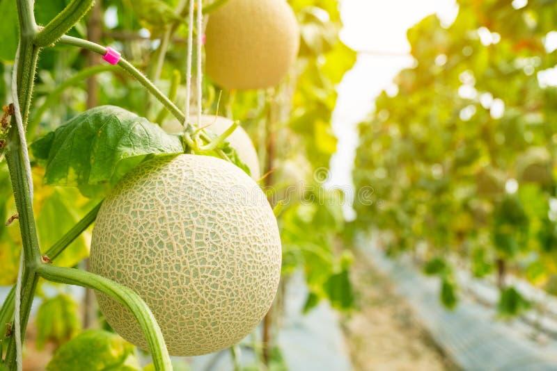 Frische Melone oder Kantalupenmelone, die im Gewächshausbauernhof wächst, der lizenzfreie stockbilder