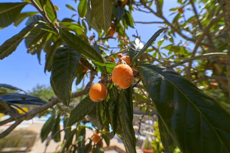 Frische Mispeln auf einem Baum lizenzfreies stockfoto