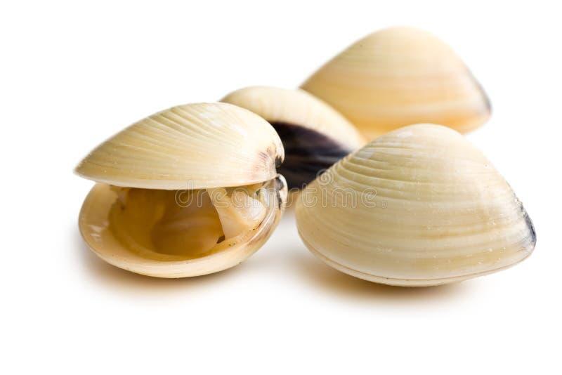 Frische Muscheln stockbilder