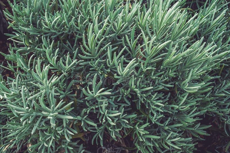 Frische Niederlassungen und Blätter des Rosmarins Würziges Gras, Gewürze Hintergrund Abschluss oben lizenzfreies stockbild