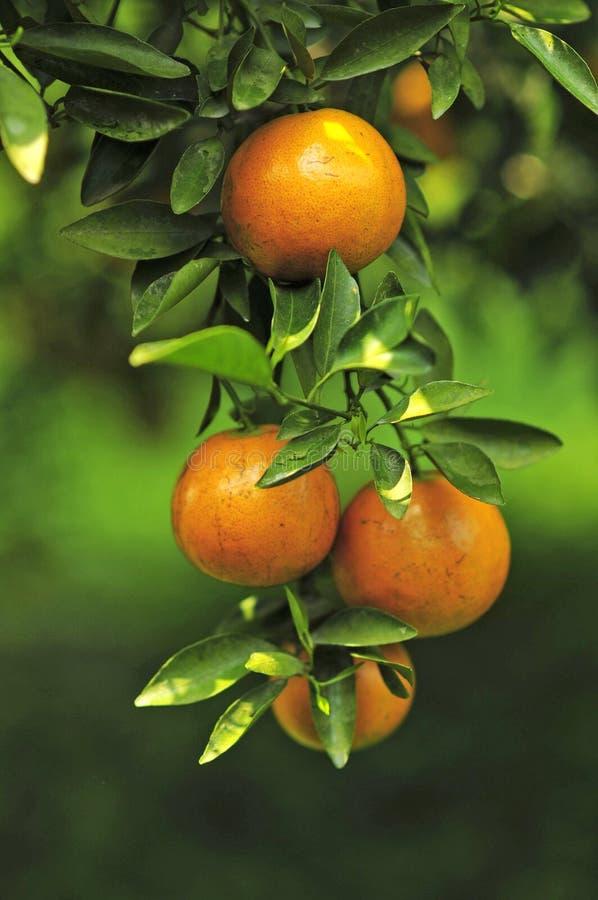 Frische Orange lizenzfreies stockbild