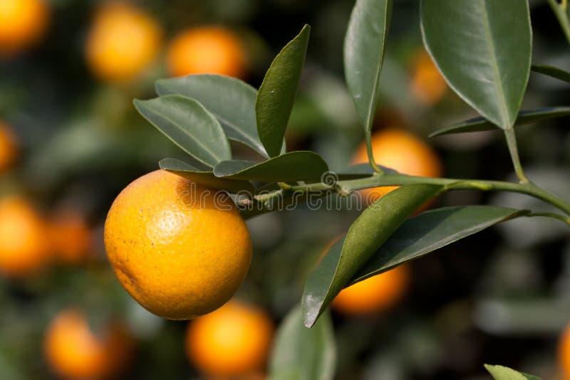 Frische Orange auf Anlage, Orangenbaum stockbilder