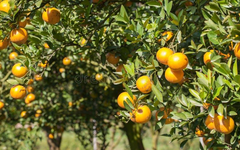 Frische Orange auf Anlage, Orangenbaum lizenzfreie stockfotografie