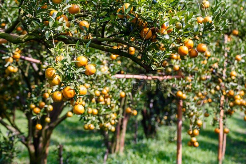 Frische Orange auf Anlage, Orangenbaum. lizenzfreies stockbild