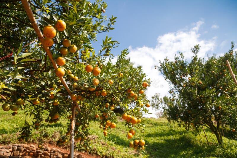 Frische Orange auf Anlage, Orangenbaum. stockbild