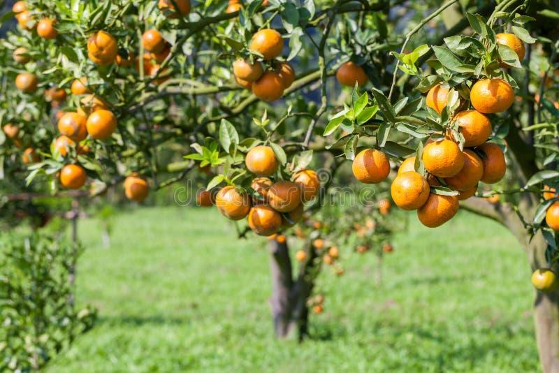 Frische Orange auf Anlage, Orangenbaum. stockfotografie