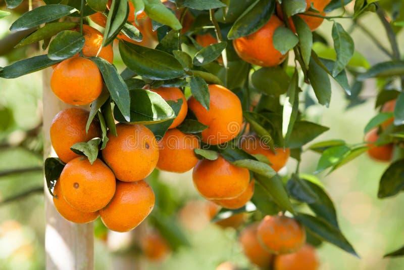 Frische Orange auf Anlage, Orangenbaum stockfotos