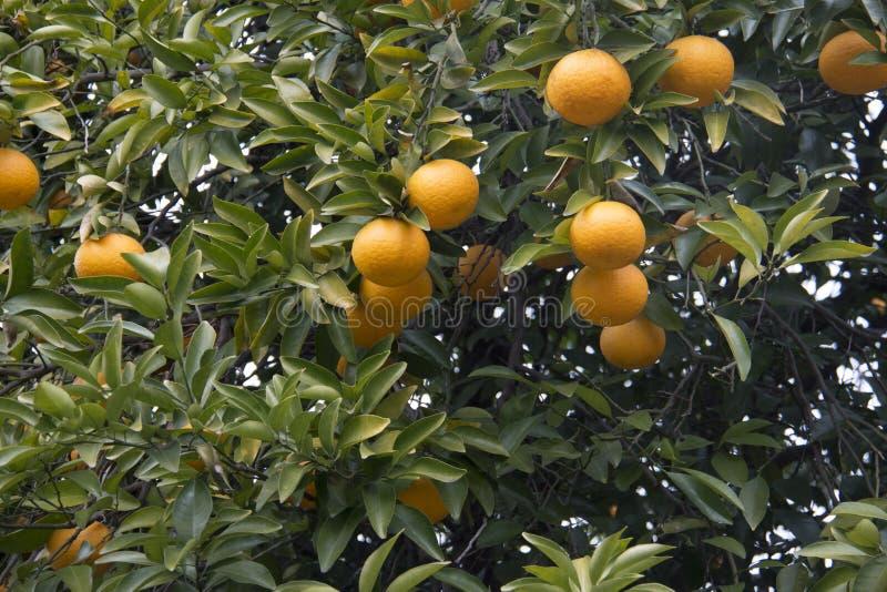 Frische Orange auf Anlage, Orangenbaum stockbild