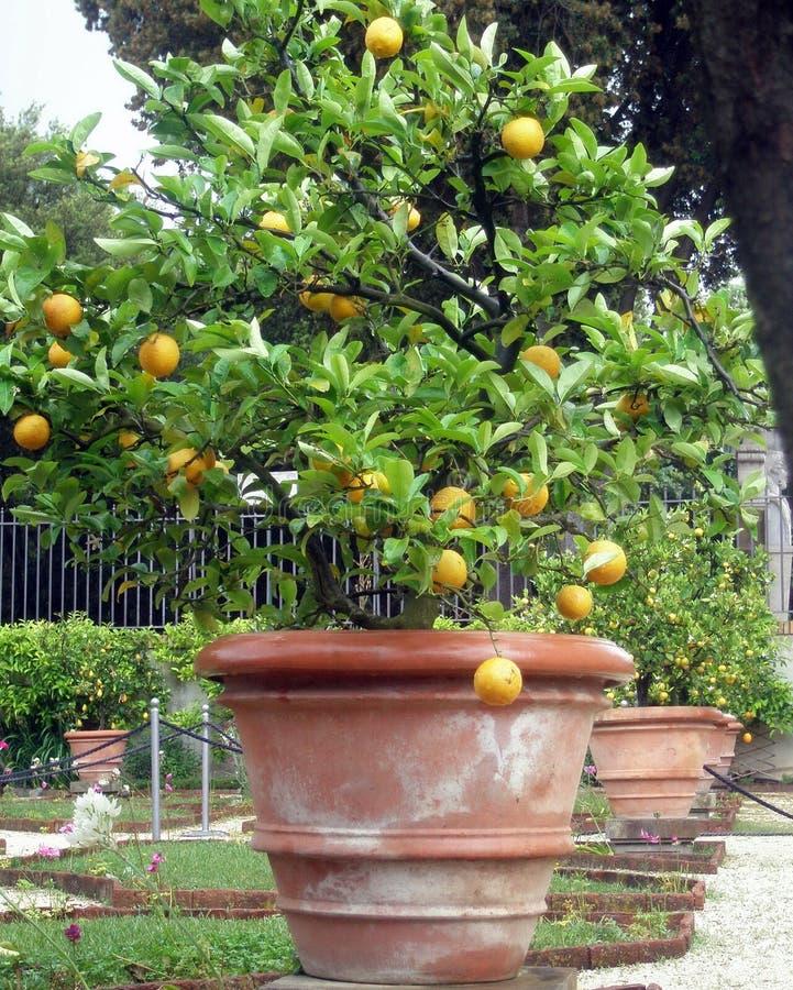 Frische Orange auf Anlage, Orangenbaum Orangenbaum des Topfes stockfotos
