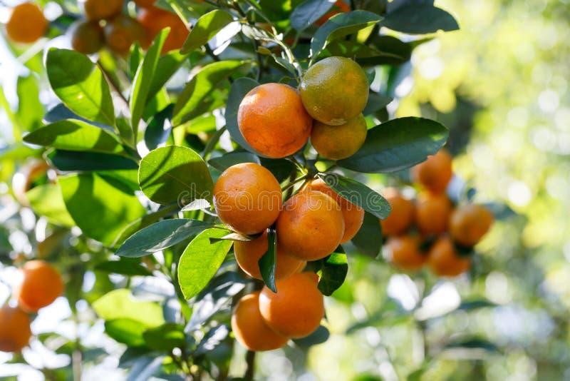 Frische Orange der Nahaufnahme auf Anlage, Orangenbaum stockfoto