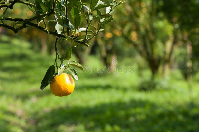 Frische Orange der Nahaufnahme auf Anlage, Orangenbaum lizenzfreies stockbild