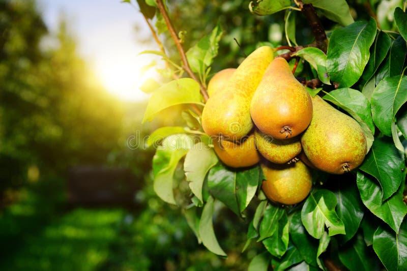 Frische organische Birnen auf Baumast stockfotografie