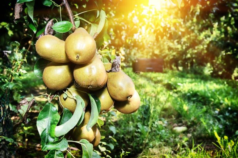 Frische organische Birnen auf Baumast lizenzfreie stockbilder