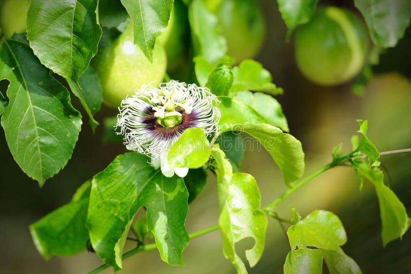 Download Frische Passionsfrucht Im Garten Stockfoto - Bild von neigung, tropisch: 26372494