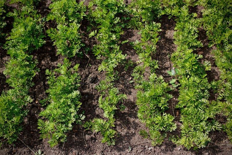 Frische Petersilie im Garten stockfotografie