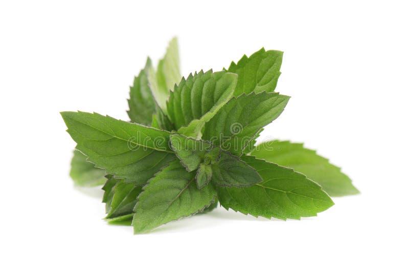 Frische Pfefferminz lokalisiert auf weißem Hintergrund Tadellose Blätter auf einem weißen Hintergrund stockfoto