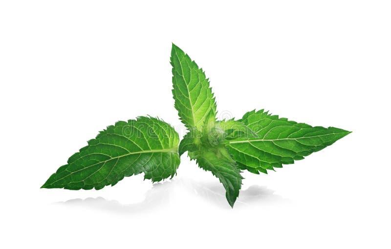 Frische Pfefferminz, Melisse, tadellose Blätter in der grünen Farbe lokalisierte es weißen Hintergrund stockfotografie