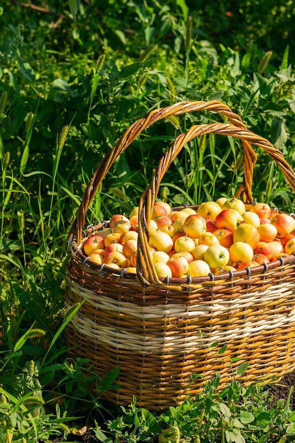 Frische reife organische Äpfel in einem großen Weidenkorb auf grünem Gras draußen Herbst- und Sommererntekonzept Biofarm stockfotografie