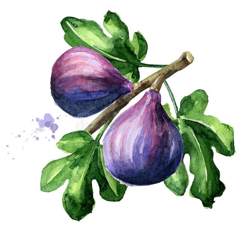 Frische reife purpurrote Feigenfrucht und -blätter auf einer Niederlassung Gezeichnete Illustration des Aquarells Hand, lokalisie stockfotos