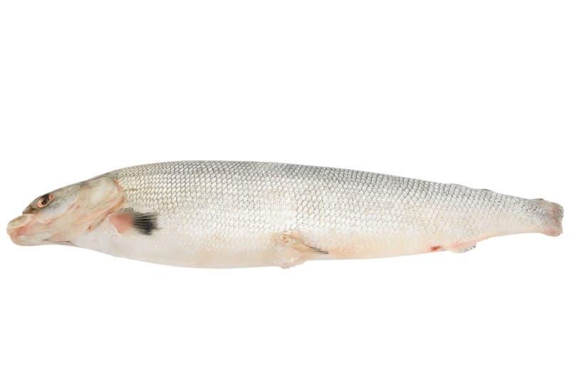 Frische rohe Fische Arktis Cisco stockfotografie