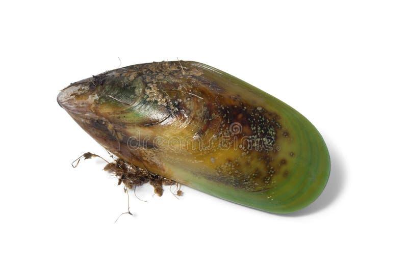Frische rohe grüne lippige Miesmuschel Neuseelands stockfotografie