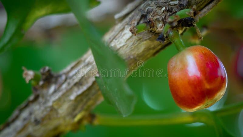 Frische rohe Kaffeebohne auf Baum stockfotos