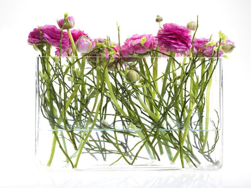 Frische rosafarbene Blumen (Hahnenfuß) in einem Glasvase stockbilder