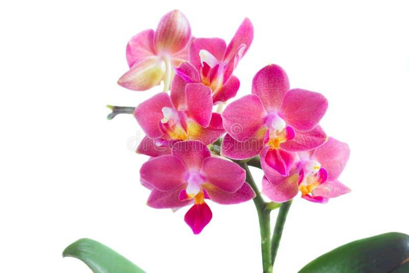 Frische rosafarbene Orchidee lizenzfreies stockbild