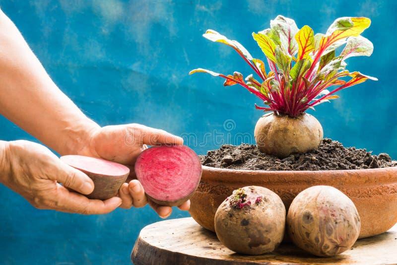 Frische Rote-Bete-Wurzeln gesunde hohe Gemüsenahrung stockfoto