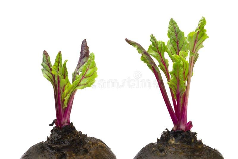 Frische rote Rote-Bete-Wurzeln junge Sprösslinge und Blätter, Vorderansicht Rote-Bete-Wurzeln Blätter lokalisiert auf weißem Hint stockfoto