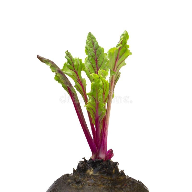 Frische rote Rote-Bete-Wurzeln junge Sprösslinge und Blätter, Vorderansicht Rote-Bete-Wurzeln Blätter lokalisiert auf weißem Hint stockbilder