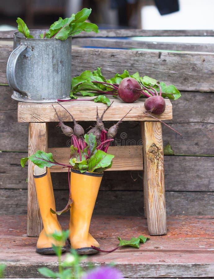 frische Rote-Bete-Wurzeln wurzeln mit Blättern in den Gummistiefeln Landwirtschaftliche noch Lebensdauer stockfoto
