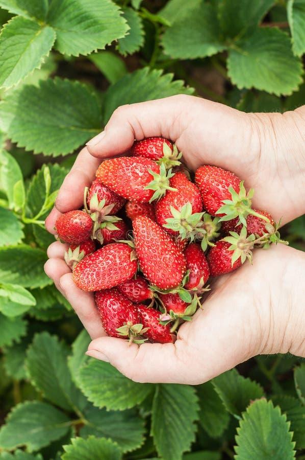 Frische rote Erdbeeren in der weiblichen Hand lizenzfreie stockfotos