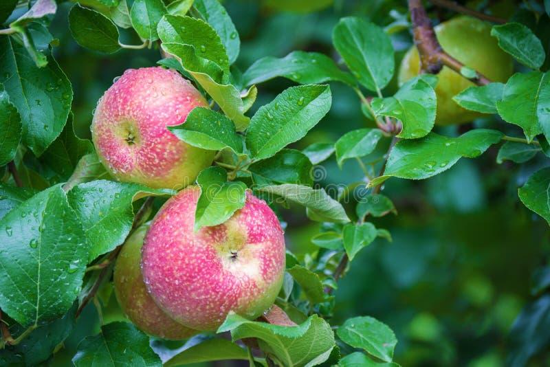 Frische roter-Deliciousäpfel stockfotos
