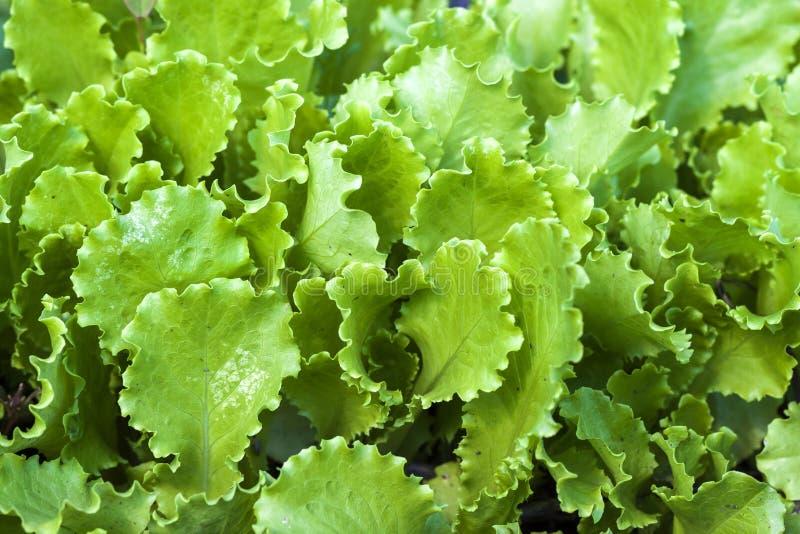 Frische Salatkopfsalat-Grünblätter schließen oben, herauf Ansicht stockfotografie