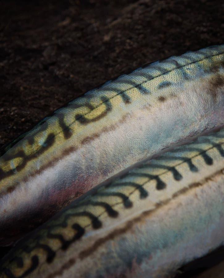 Frische schöne Makrele auf dunklem Stein stockfotos