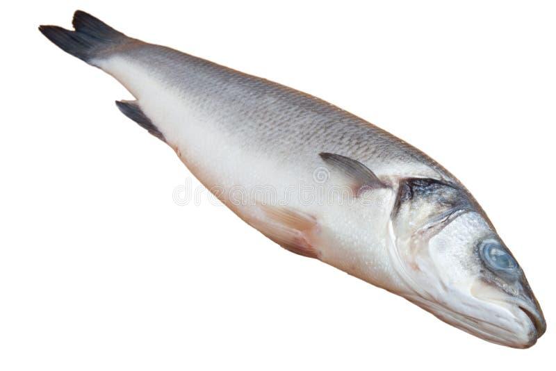 Frische Seebarschfische stockfotos