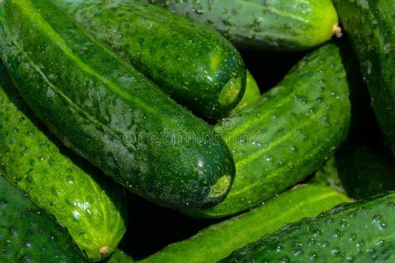 Frische selbst gemachte Gurken an einem sonnigen Tag, gerade ausgewählt, Nahaufnahme, Gemüse lizenzfreies stockbild