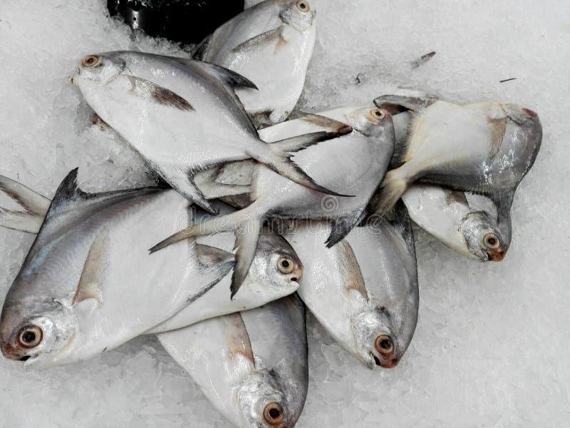 Frische silberne Butterfischfische stockbilder