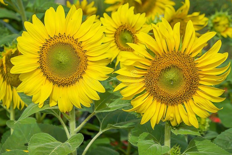Frische Sonne blüht Plantage stockbild