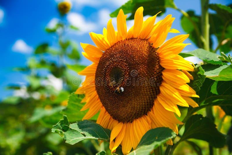 Frische Sonnenblume auf blauem Himmel lizenzfreies stockfoto