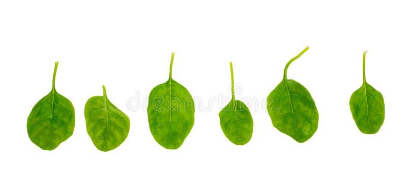 Frische Spinatblätter stockbilder
